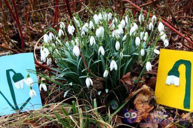 Schneeglöckchen – Boten des Frühlings